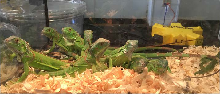 Iguanas and many other exotic animals were showcased at  Repitcon's Reptile Day. Photos by Travis Milton