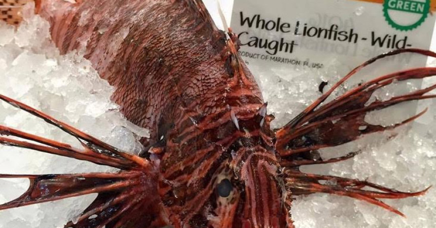 Now serving … the lionfish
